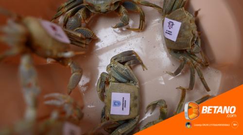 Suporterii români mizează pe crabii echipelor adverse la Microbist de România